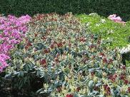 Rhododendron Hybride 'Torero'