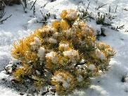 Pinus mugo 'Carstens Wintergold' - im Winter goldgelbe Zwergkiefer