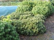 Pinus mugo 'Humpy'