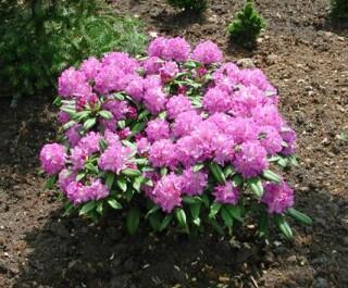 rhododendron_hybride_alfred.jpg