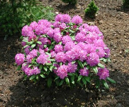 "Rhododendron Hybride ""Brasilia"""