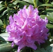 Rhododendron Hybride 'Catawbiense Boursault'