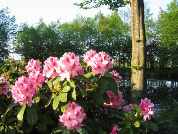 "Rhododendron Hybride ""Furnival´s Daughter"""