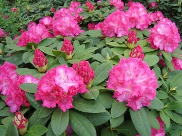 Rhododendron Hybride 'Germania' (S)