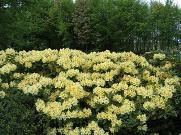Rhododendron Hybride 'Karibia'