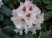 Rhododendron Hybride 'Le Progrès'