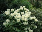 Rhododendron Hybride 'Maharani'