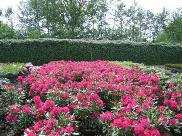 Rhododendron Hybride 'Nova Zembla'
