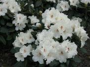 Rhododendron Hybride 'Schneespiegel' (S)