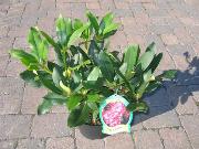 "Rhododendron Hybride ""Walküre"" (R)"