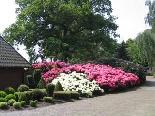 rhododendron yakushimanum fantastica carstens baumschulen. Black Bedroom Furniture Sets. Home Design Ideas