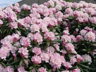 rhododendron yakushimanum silberwolke carstens baumschulen. Black Bedroom Furniture Sets. Home Design Ideas