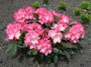Rhododendron yakushimanum 'Tina Heinje'